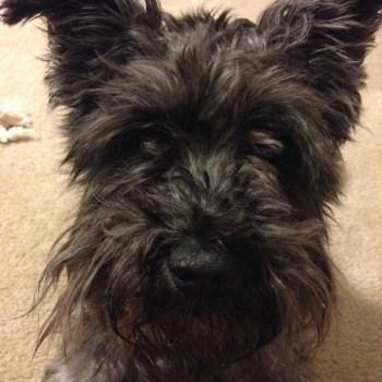 Cairn Terrier Miniature Schnauzer Mix