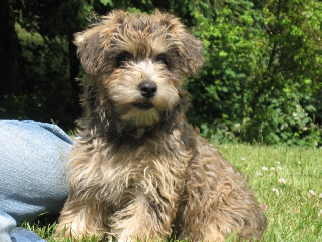 Cairn Terrier Poodle Mix For Sale