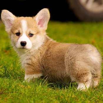 Buy A Corgi Puppy