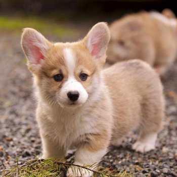Buy Welsh Corgi Puppies