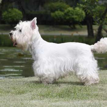 Buy West Highland Terrier