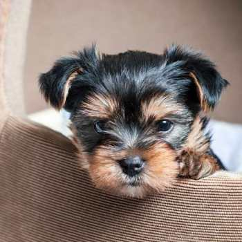 Buying Yorkshire Terrier Puppy