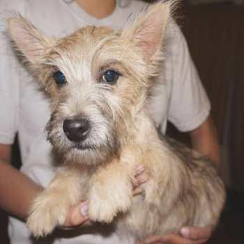 Cairn Terrier Breeders Az