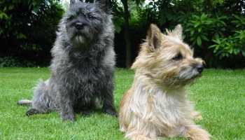 Cairn Terrier Breeders In Michigan   Pets and Dogs