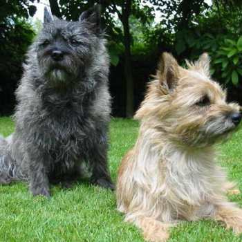 Cairn Terrier For Sale Texas
