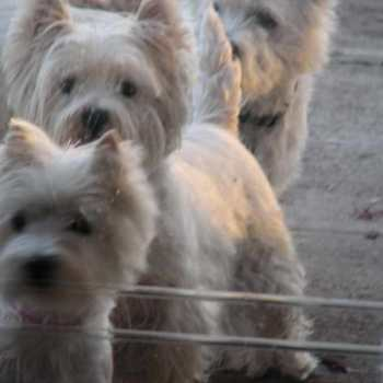 Cairn Terrier Rescue Dogs