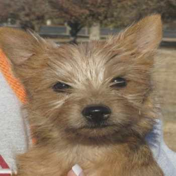 Cairn Terrier Rescue Nc