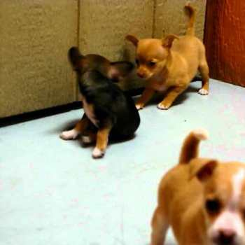 California Chihuahua Puppies For Sale