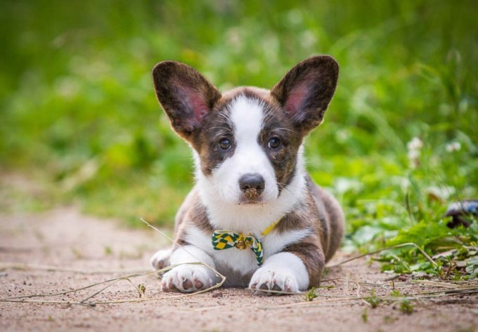 Cardigan Welsh Corgi Puppies For Sale In Nc