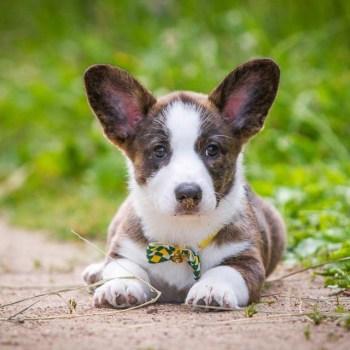 Cardigan Welsh Corgi Puppies