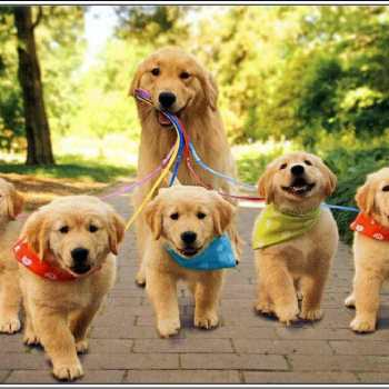 Caring For Golden Retriever Puppies