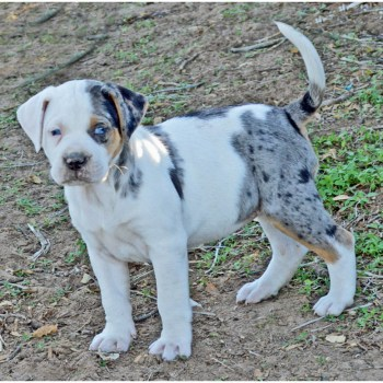 Catahoula Bulldog Breeders