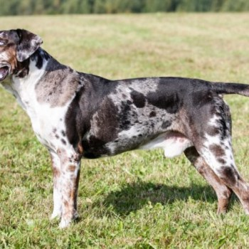 Catahoula Lab
