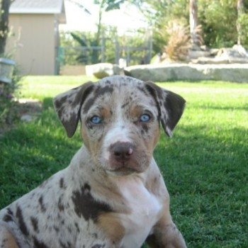 Catahoula Leopard Dog For Sale In Florida