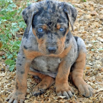 Catahoula Leopard Dog Puppies For Adoption