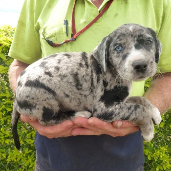 Catahoula Puppies For Sale California