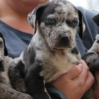 Catahoula Rescue Southeast