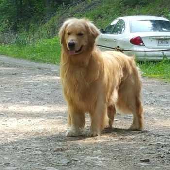 Champion Golden Retriever Puppies