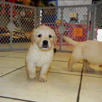 Charlotte Golden Retriever Puppies