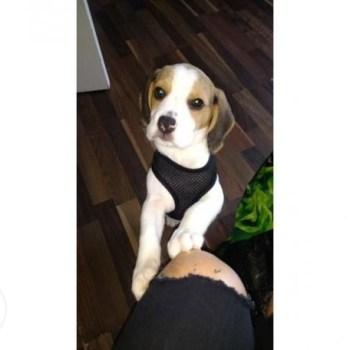 Cheap Beagle