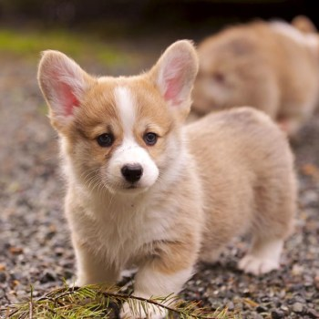 Cheap Corgi Puppies For Sale Near Me
