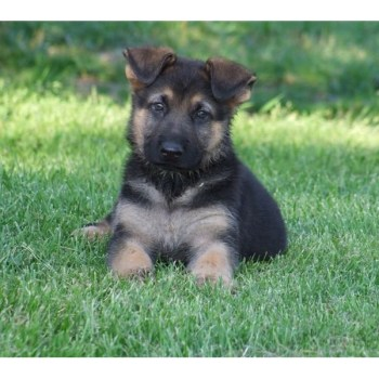 Cheap German Shepherd Puppies For Sale Near Me