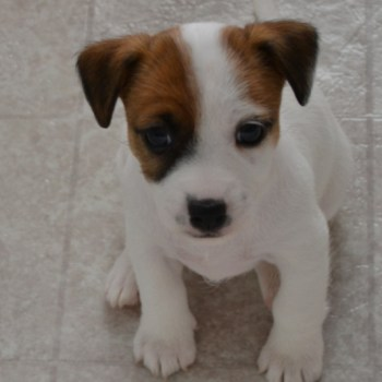 Cheap Jack Russell Puppies For Sale