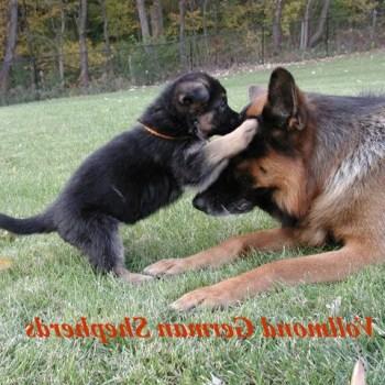 Chicago German Shepherd Puppies