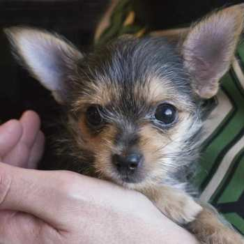 Chihuahua And Yorkie Mix For Sale