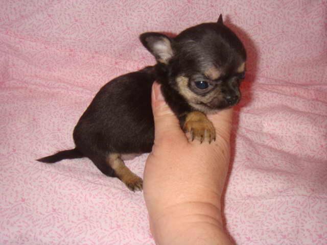 Chihuahua Apple Head Price