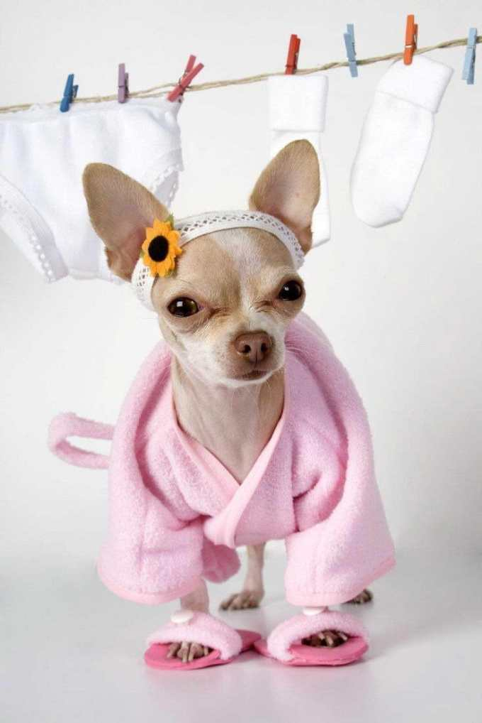 Chihuahua Baby Clothes