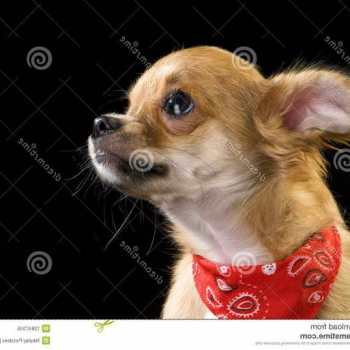Chihuahua Bandanas