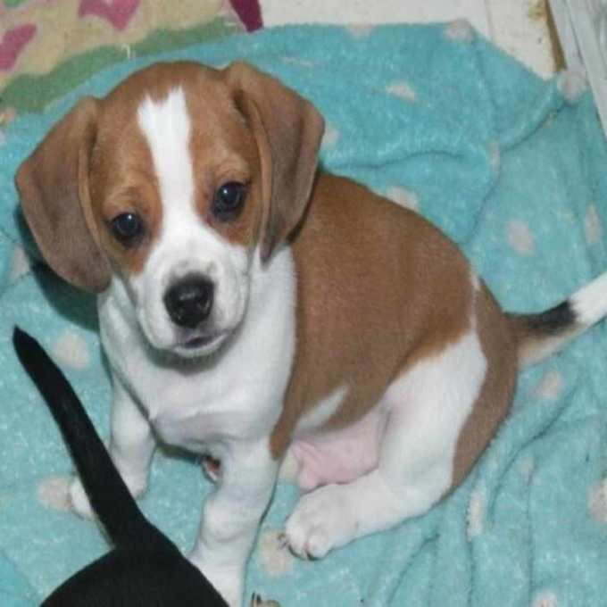Chihuahua Beagle Mix Puppies For Sale