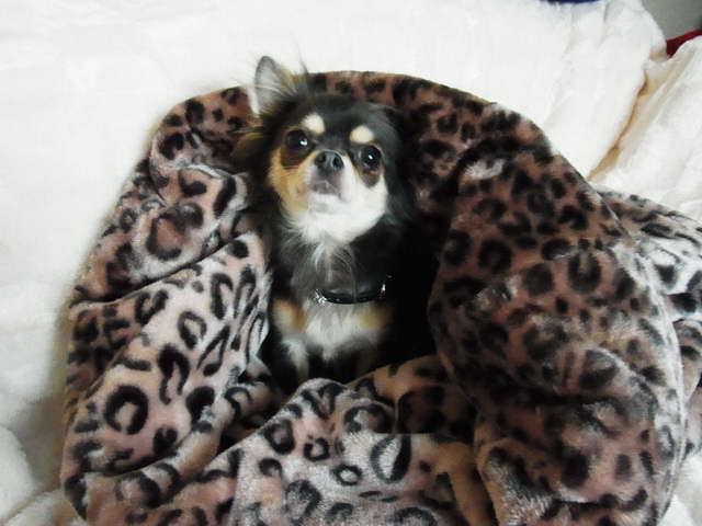 Chihuahua Beds Snuggle