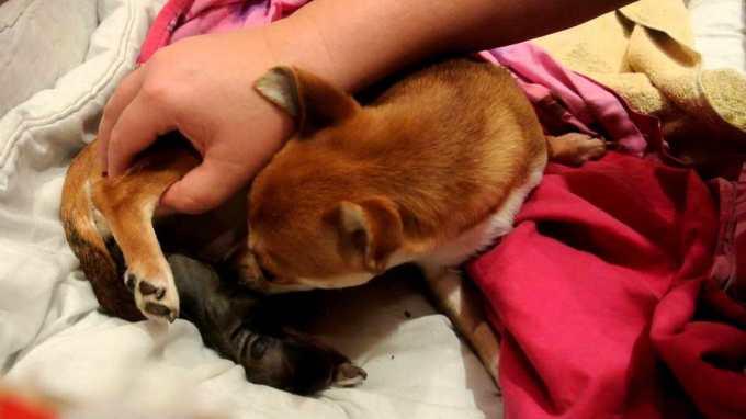 Chihuahua Birth Process