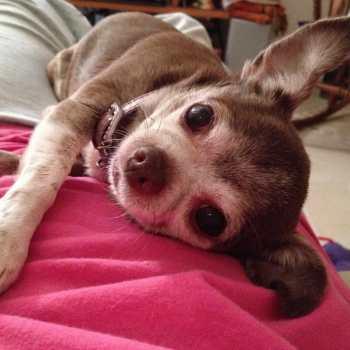 Chihuahua Blog