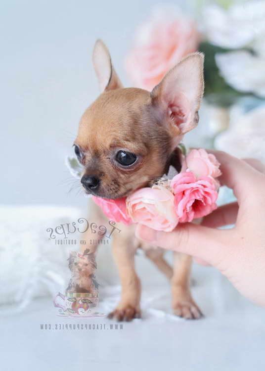 Chihuahua Breeder Florida