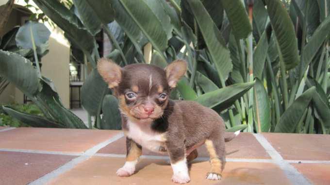 Chihuahua Breeder Indiana