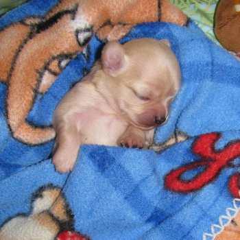 Chihuahua Breeder Nyc