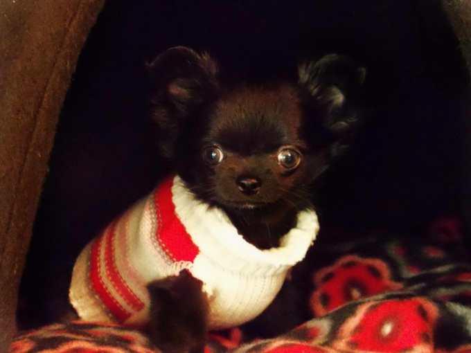 Chihuahua Breeder Wisconsin