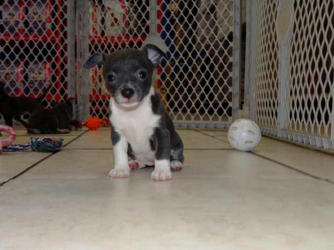 Chihuahua Breeders In Va