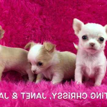 Chihuahua Breeders Los Angeles