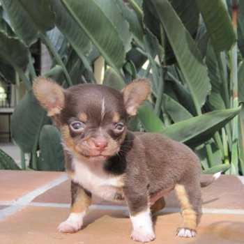 Chihuahua Breeders Massachusetts