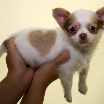 Chihuahua Breeders New England