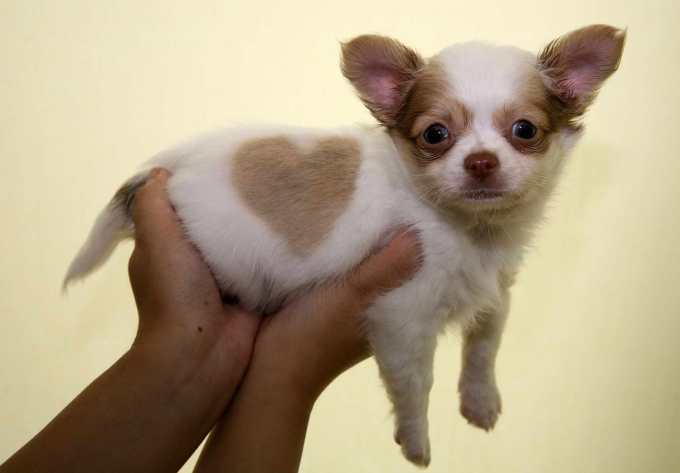 Chihuahua Breeders New England