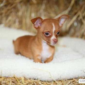Chihuahua Breeders Pa