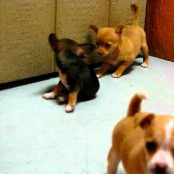 Chihuahua Breeders San Diego