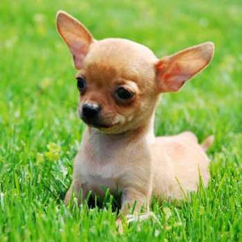 Chihuahua Breeds Types