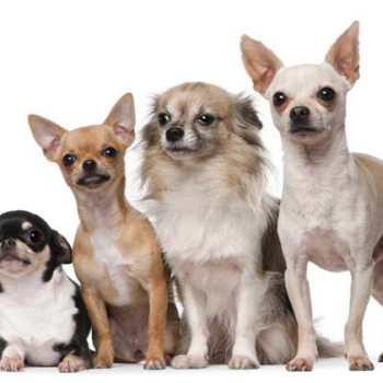 Chihuahua Breeds