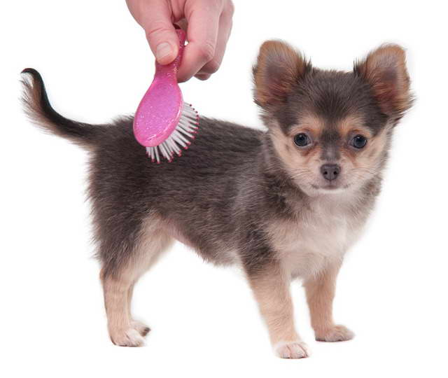 Chihuahua Brush